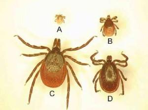 Capusele Ixodes ricinus vectori pentru Borrelioza Lyme